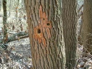 wp-woodpecker-holes