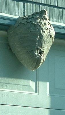 Ardis hornets